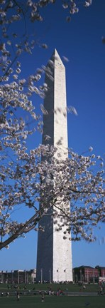Framed Cherry Blossom in front of an obelisk, Washington Monument, Washington DC, USA Print