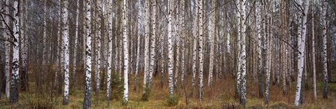 Framed Silver birch trees in a forest, Narke, Sweden Print
