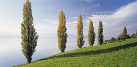 Framed Switzerland, Lake Zug, Row of Populus Trees near a lake Print