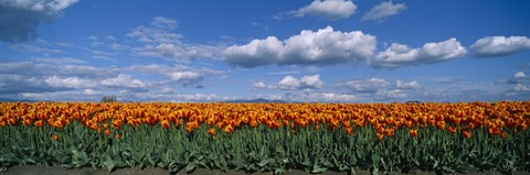 Framed Clouds over a tulip field, Skagit Valley, Washington State, USA Print