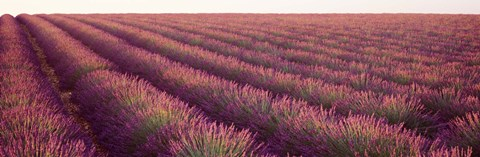 Framed Close-up of Lavender fields, Plateau de Valensole, France Print