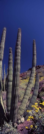 Framed Close up of Organ Pipe cactus, Arizona Print