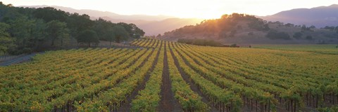 Framed Sunset, Vineyard, Napa Valley, California, USA Print