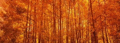 Framed Aspen trees at sunrise in autumn, Colorado (horizontal) Print