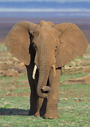 Framed Close-up of an African elephant walking in a field, Lake Manyara, Arusha Region, Tanzania (Loxodonta Africana) Print