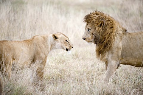 Framed Lion and a lioness (Panthera leo) standing face to face in a forest, Ngorongoro Crater, Ngorongoro, Tanzania Print