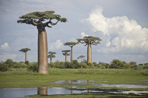 Framed Baobab trees (Adansonia digitata) at the Avenue of the Baobabs, Morondava, Madagascar Print