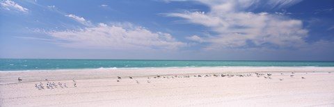 Flock of seagulls on the beach, Lido Beach, St. Armands Key, Sarasota Bay, Florida, USA by Panoramic Images