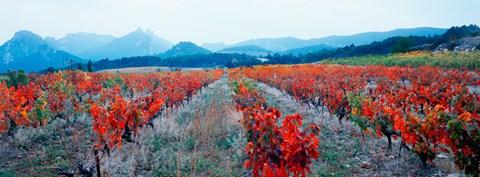 Framed Vineyards in autumn, Provence-Alpes-Cote d'Azur, France Print