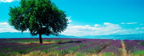 Framed Tree in the middle of a Lavender field, Provence-Alpes-Cote d'Azur, France Print