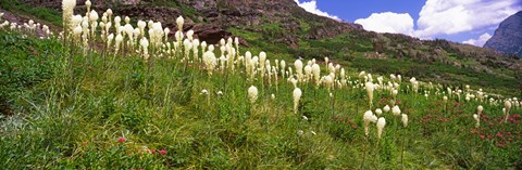 Framed Close Up of Beargrass, US Glacier National Park, Montana Print
