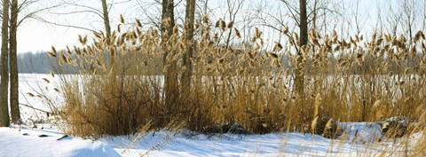 Framed Plants in a snow covered field, Saint-Blaise-sur-Richelieu, Quebec, Canada Print