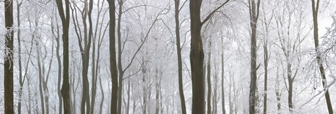 Framed Snow covered trees in a forest, Wotton, Gloucester, Gloucestershire, England Print
