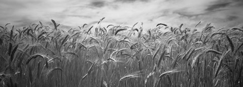 Framed Wheat crop growing in a field, Palouse Country, Washington State (black and white) Print