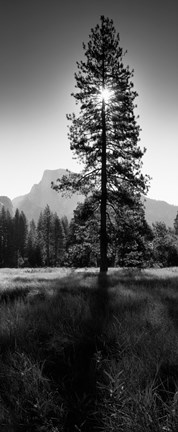 Framed Sun Behind Pine Tree, Half Dome, Yosemite Valley, California, USA Print