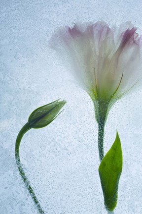 Flowers on Ice-15 by Moises Levy