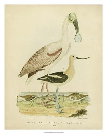 Framed Antique Spoonbill & Sandpipers Print