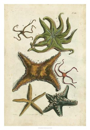 Framed Starfish Illustre Print