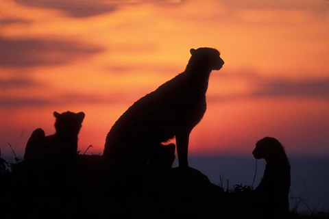 Framed Cheetah Silhouetted By Sunset, Masai Mara Game Reserve, Kenya Print