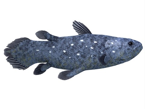 Framed Coelacanth fish against white background Print