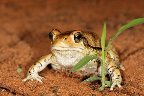 Framed Red Toad, Mkuze Game Reserve, South Africa Print