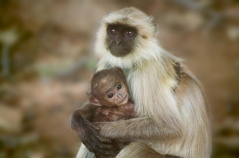 Framed Black-Face Langur Mother and Baby, Ranthambore National Park, Rajasthan, India Print