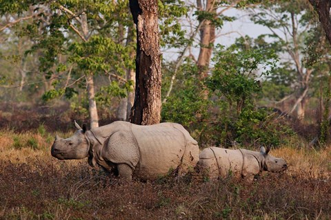 Framed One-horned Rhinoceros and young, Kaziranga National Park, India Print