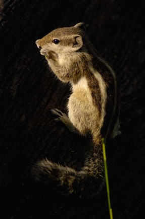Framed Northern Palm Squirrel, Bharatpur NP, Rajasthan. INDIA Print