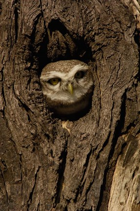 Framed Spotted Owlet bird in a tree, Bharatpur NP, Rajasthan. INDIA Print