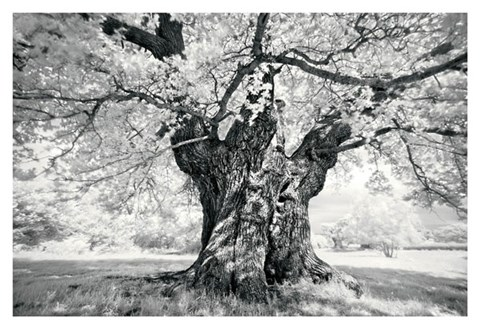 Framed Portrait of a Tree, Study 18 Print