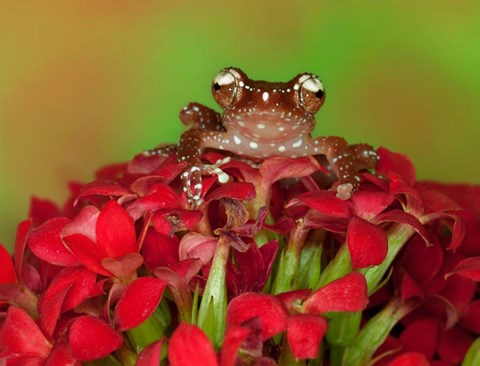 Framed Borneo Cinnamon Tree Frog on red flowers Print