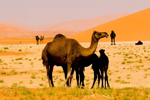 Framed Oman, Rub Al Khali desert, camels, mother and calves Print