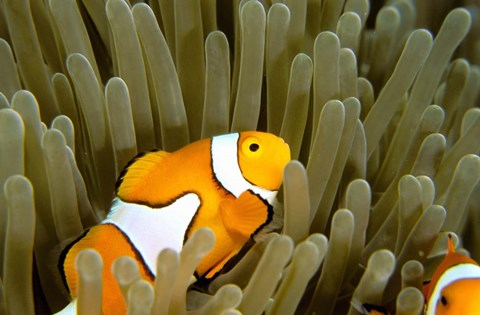 Framed Australia, Great Barrier Reef, Clown fish Print