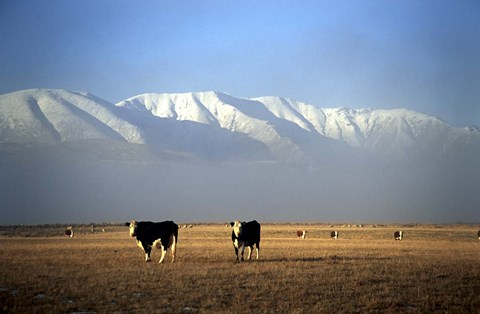 Framed Cows and Hawkdun Range, Maniototo, Central Otago Print