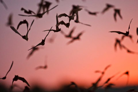 Framed Mexican Free-tailed Bats emerging from Frio Bat Cave, Concan, Texas, USA Print