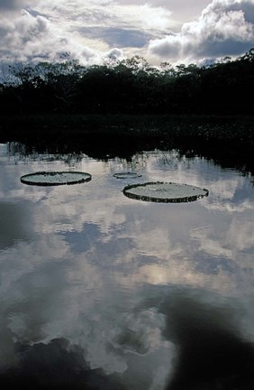 Framed Giant Water Lilies, Amazon River Basin, Peru Print