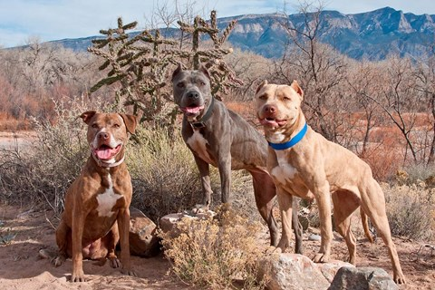 Framed Three Pitt Bull Terrier dog, New Mexico Print