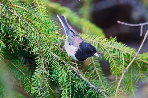 Framed British Columbia, Dark-eyed Junco bird in a conifer Print