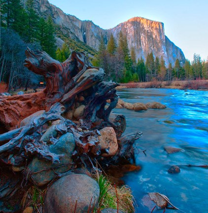 Framed Tree roots in Merced River in the Yosemite Valley Print
