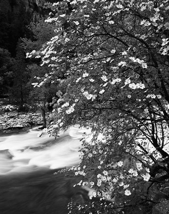 Framed Pacific Dogwood tree, Merced River, Yosemite National Park, California Print
