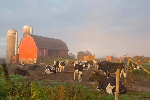 Chuck Haney Danita Delimont Holstein Dairy Cows Outside A Barn Boyd Wisconsin