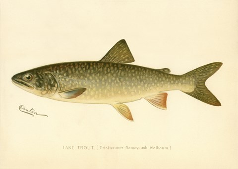 Framed Lake Trout Print