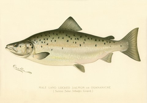Framed Male Land Locked Salmon Print