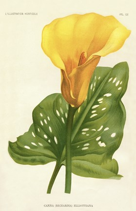 Framed Yellow Canna Lily Print