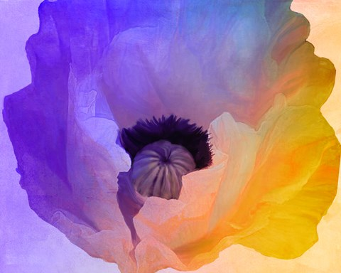Framed Poppy Gradient III Print