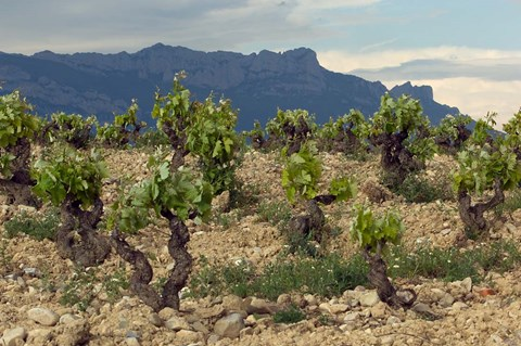 Framed Vineyard along the San Vicente to Banos de Ebro Road, La Rioja, Spain Print