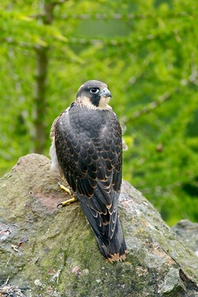 Framed Wildlife, Peregrine Falcon Bird on Rock Print