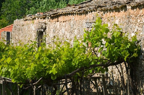 Framed Vineyard Detail, Assos, Kefalonia, Ionian Islands, Greece Print