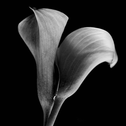 Framed Calla Lilies Black And White Print