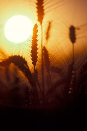 Framed Wheat Plants at Sunset Print